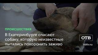 В Екатеринбурге спасают собаку, которую неизвестные пытались похоронить заживо