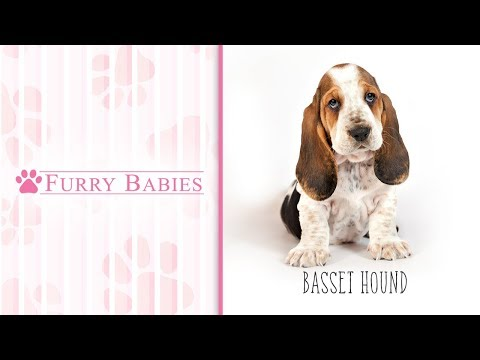 Is the Basset Hound the right breed for you?