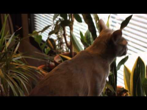 Korat cat meowing