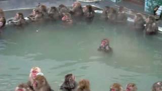 函館熱帯植物園の 温泉に入るサルです。