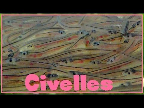 Anguilla anguilla - (Linnaeus, 1758) - (Anguillidae) - Civelles - 03/2017