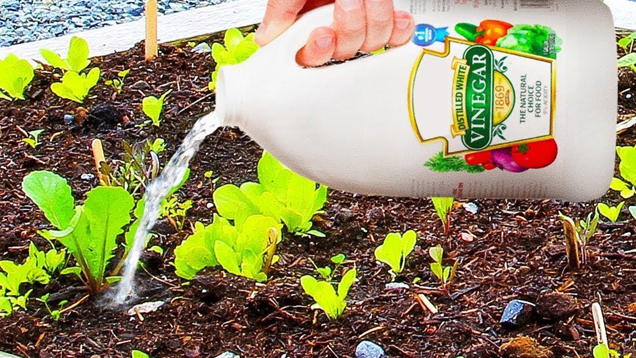 Resultado de imagem para vinagre plantas
