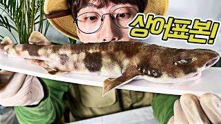 상..상어를 표본했다! 무시무시한 이빨이 보여..