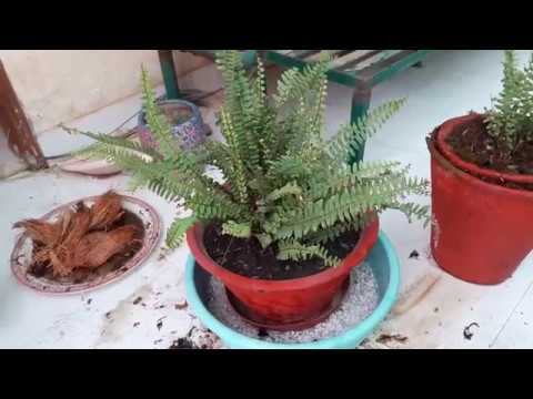 Care of Fern in Summer    How to Keep Your Fern Healthy in Summer    Fern Summer Care Tips