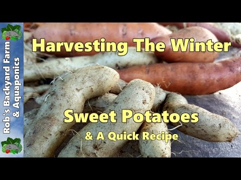 Winter Sweet Potato Harvest & a Quick Recipe