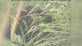 西アフリカ・ギニアに生息する野生のチンパンジーが、ヤシの木の上で自...