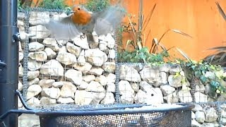 Robins On The Bird Feeder 18.06.14