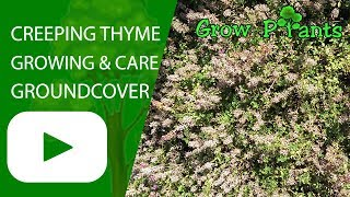 Creeping thyme growing and care great ground cover