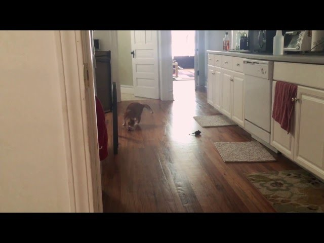 My Blind Cat Plays Fetch