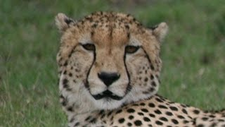 What noise do Cheetahs make?