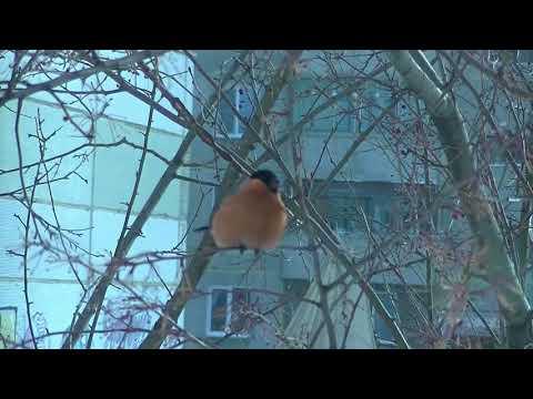 Зима. Холода. Снегири, синички - птички.