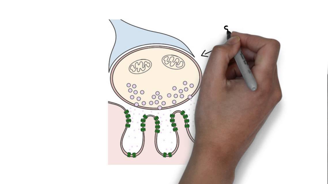 2-Minute Neuroscience Neuromuscular Junction - YouTube - neuromuscular junction