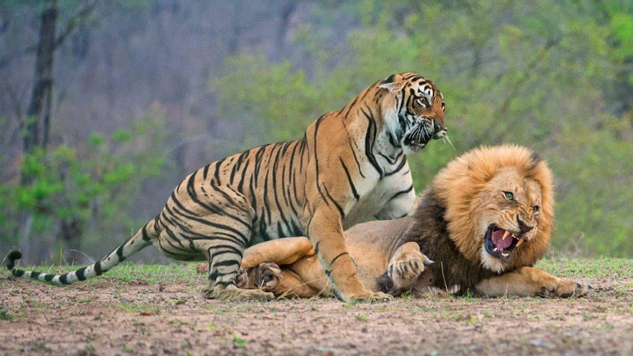 Download Big Battle Lion vs Tiger - The Lion Survive The Tiger Attack?