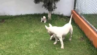 Bulldog Lovers Bulldog Ingles Vs Bull Terrier Ingles