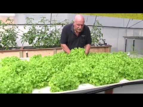 Aquaponic tomatoes, lettuce and EC.  What is EC?