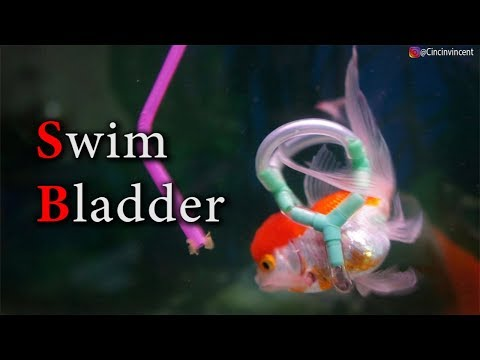 Swim Bladder