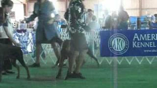 Austin Kennel Club Winner's Bitch Doberman Pinscher Ring 4-16-11