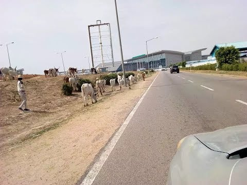Herdsman, cows reportedly stray into Abuja airport