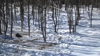 Охота на кабана с вышки в Смоленской области 2013 г