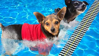 First Dog to Finish Swimming Race Wins! PawZam Dogs