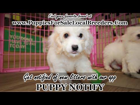 Yorkies, Pomeranians, Cavachons, Frenchton, Shih Tzu, Yorkipoo Puppies For Sale Local Breeders