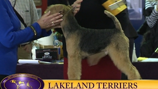 Lakeland Terriers 140th Westminster Kennel Club 2016