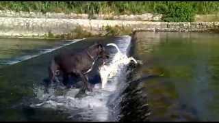 Great Dane Manu And Dalmatian Gea