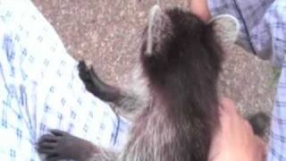 Kitties and a Raccon Playing and Wrestling