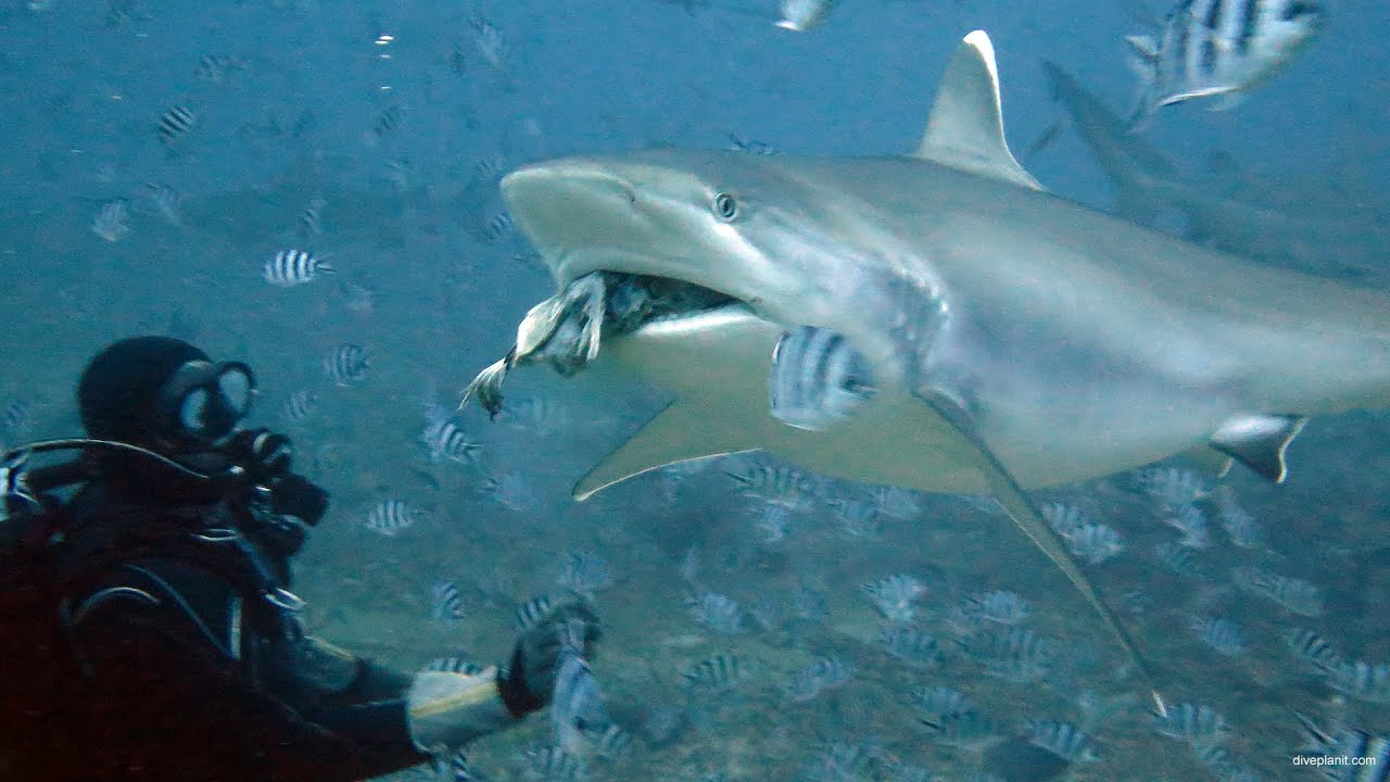 Top 10 Best Places To Swim With The Sharks | Adventure Swim, Image result for Beqa Lagoon, Fiji