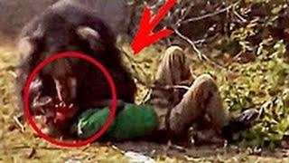 Нападение медведей на людей / Самая большая подборка 2016