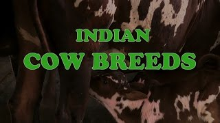Indian Cow Breeds - English