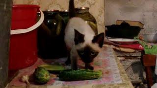 Сиамские котята и огурцы)