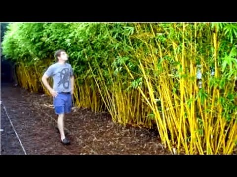 Golden Goddess Bamboo Plant Fast Growing Privacy