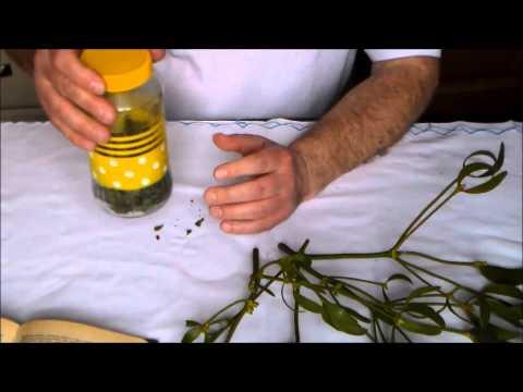 Омела белая - лечебные свойства, рецепты, применение