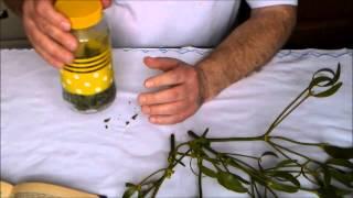 лечебные отвары - отвар омелы для гипертоников