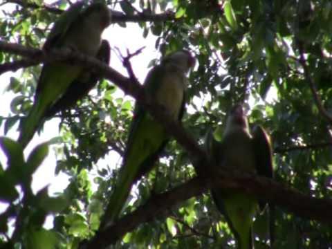Quaker Parrots (monk parakeets) Dallas, TX(2/3)