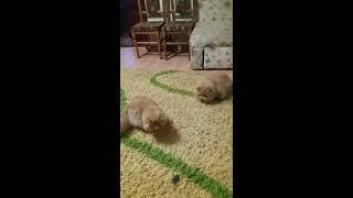 Персидские кошки и мишка