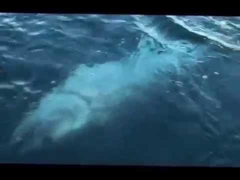cá ngừ đại dương khổng lồ 400 kg