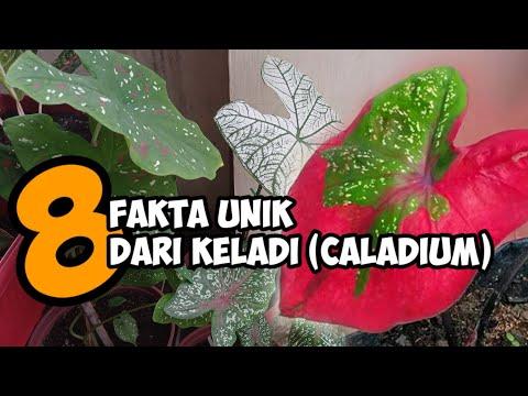 Fakta unik tentang Keladi (Caladium)