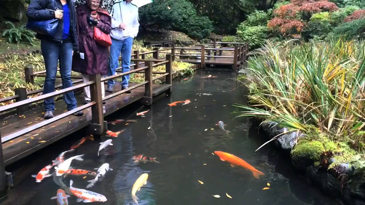 time lapse of koi at the portland japanese garden - Japanese Koi Garden