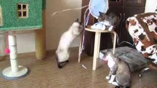Опасная забава  кошки и вентилятор !!!