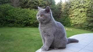 Британская короткошёрстная кошка — Википедия часть 2