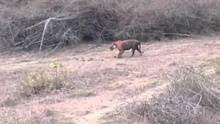 Huge Male Tiger Prince at Bandhipur 04/12/2016