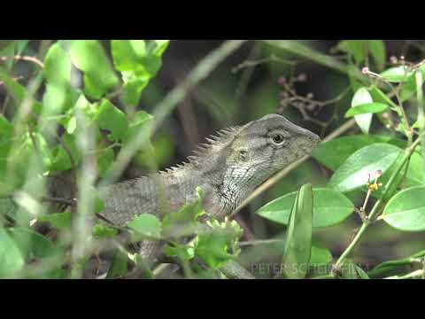 Oriental Garden Lizards, Insects, Snakes, Long Tailed Grass Lizards, Toads - Film Production Vietnam