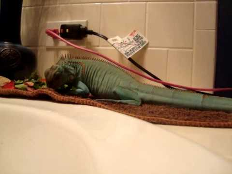 Riddik Axanthic Iguana Having Breakfast