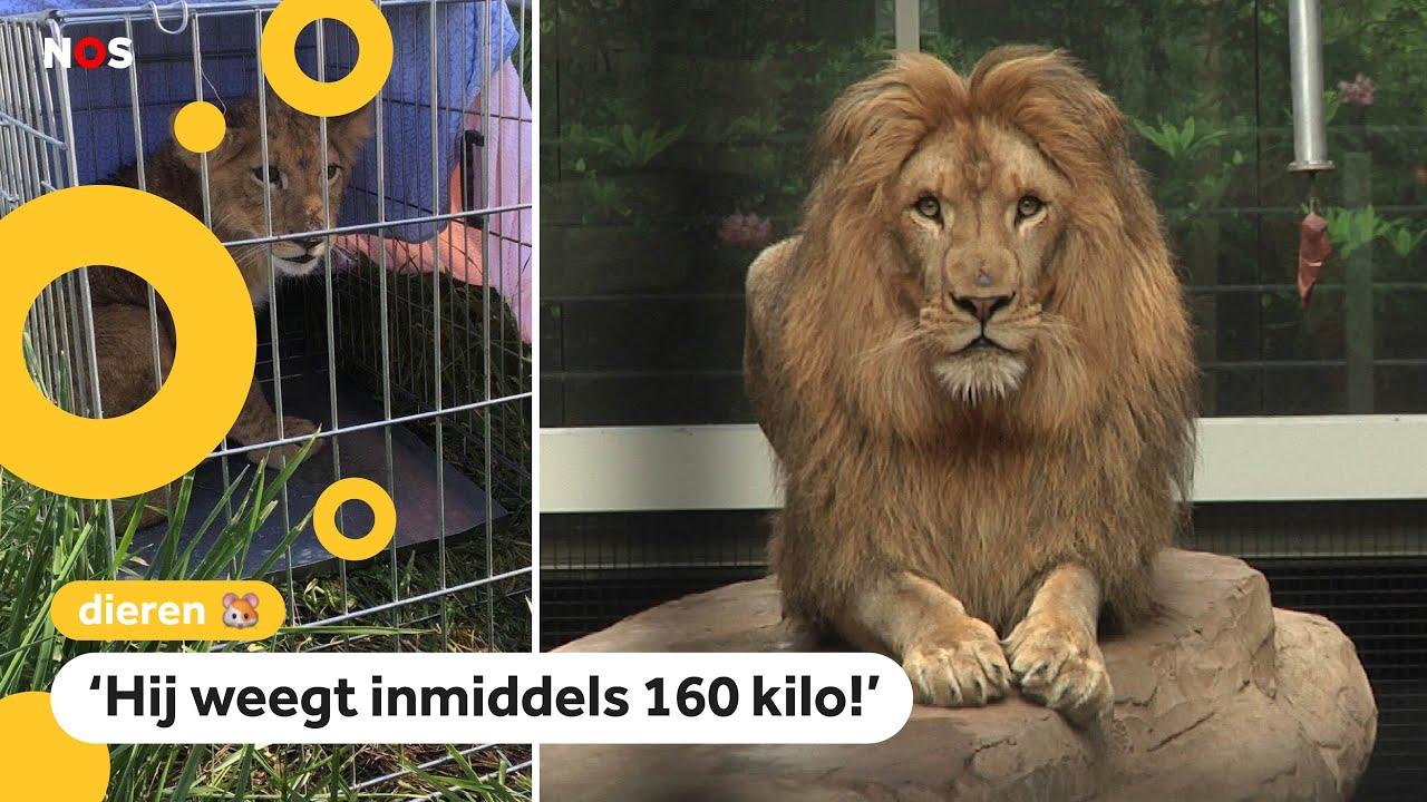 Gevonden welp is nu volwassen leeuw (en heeft altijd honger)