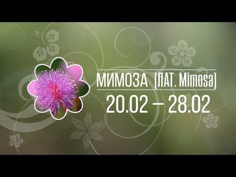 Мимоза 20 - 28 февраля ✿ Цветочный гороскоп