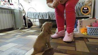 Дрессировка щенка. Первые занятия  с Ричардом.