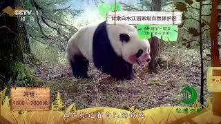 《秘境之眼》 野生大熊猫 20190101| CCTV