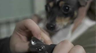 Näin leikkaat koiran kynnet